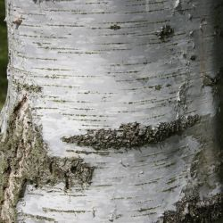 5ft 'Tristis' Birch Tree | Betula pen 'Tristis' | 12L Pot | By Frank P Matthews