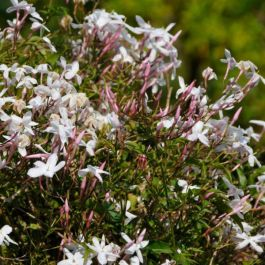 Common Jasmine | Jasminum Officinale | 2.5L Pot