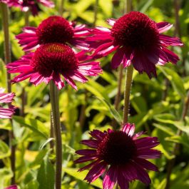 Echinacea 'Delicious Candy' | 3L Pot