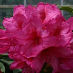 2ft Rhododendron 'Van' | 7.5L Pot | Rhododendron Hybrid