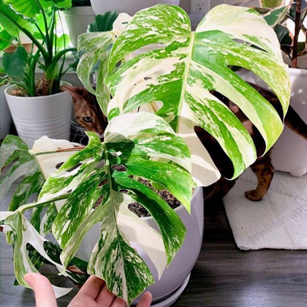 80cm Variegated Monstera Plant | Monstera deliciosa | 27cm Pot | By Plant Theory