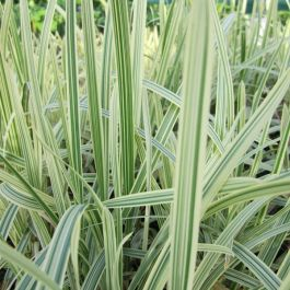 Large Variegated Reed Sweet-Grass Glyceria maxima 'Variegata' - 3L Pot