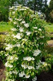 4ft 'Kilimanjaro' Viburnum Tree | 12L Pot | By Frank P Matthews™