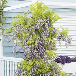 3ft Wisteria Floribunda 'Black Dragon' | 'Kokuryu' | 3L Pot