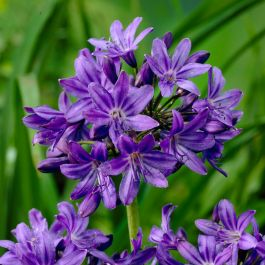 Agapanthus 'Royal Velvet' | 3L Pot