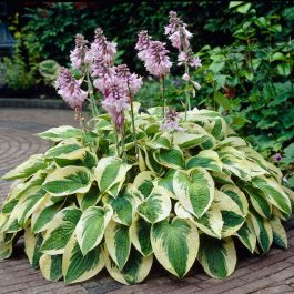 Hosta 'Wide Brim' | 1L Pot