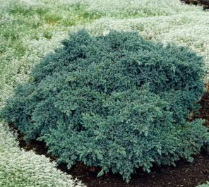 Juniperus squamata Blue Star | 1L