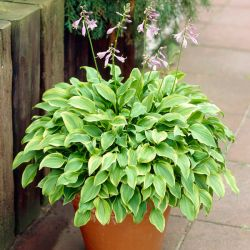 Hosta 'Golden Tiara' | 2L Pot