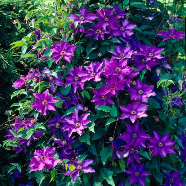 Clematis 'The President' | 2.5L Pot