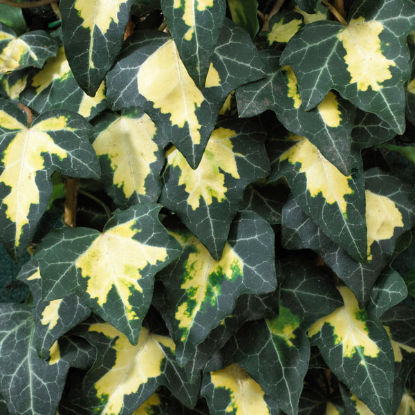 Common Ivy | Hedera helix 'Goldheart' | 2.5L Pot