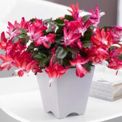 15cm Christmas Cactus | Schlumbergera 'Red' | 15cm Pot | By Plant Theory