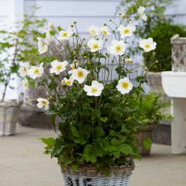 Anemone 'Honorine Jobert' | 3L Pot