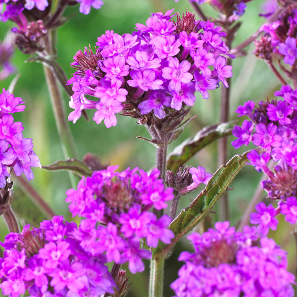 Verbena rigida | 3L Pot
