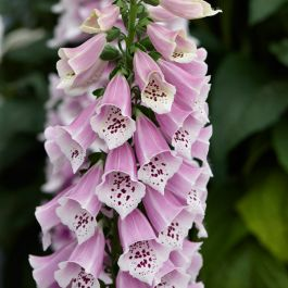 Digitalis 'Dalmatian Rose' | 3L Pot
