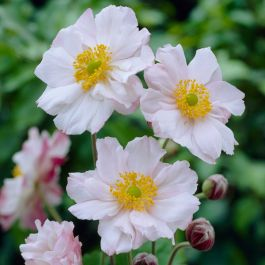 Anemone 'Lorelei' | 3L Pot