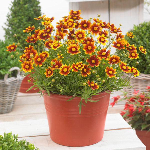 Coreopsis 'Little Bang Daybreak' | 3L Pot