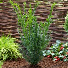 2ft 'Greenland' Yew | 4.5L Pot | Taxus media