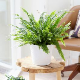 30cm Sword Fern | Nephrolepsis | 9cm Pot | By Plant Theory
