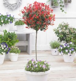 5ft Photinia Tree | 'Little Red Robin' | Half Standard |15L Pot