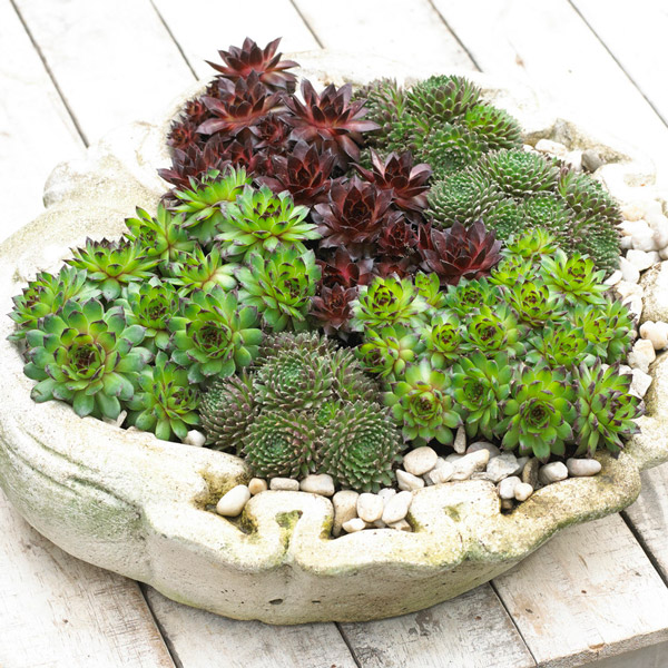 6 x Semperviren Plants | Architectural Succulents Collection | 10.5cm Pots