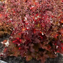 30cm Heuchera 'Indian Summer Cranberry' | 3L Pot