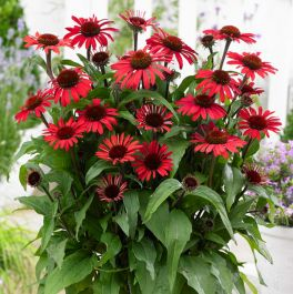 Echinacea 'SunSeekers Red Improved' | 3L Pot