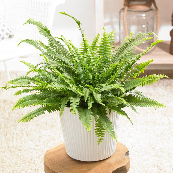 40cm Boston Fern | Nephrolepis Exaltata 'Green Lady' | 18cm Pot | By Plant Theory