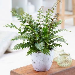 Maidenhair Fern | Didymochlaena Truncatula | 9cm Pot | By Plant Theory