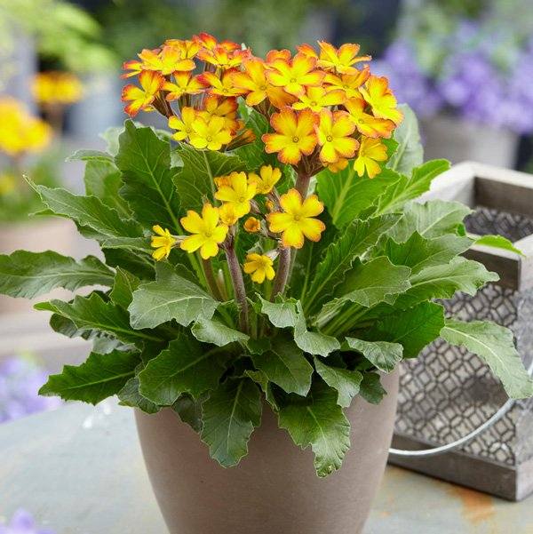 Primula Oak Leaf Yellow Picotee | 1.5 Litre Pot