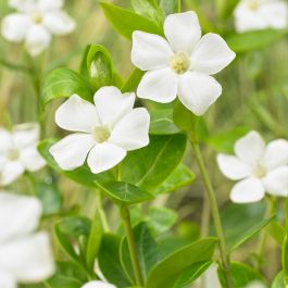 Vinca minor Alba | 2 Litre Pot