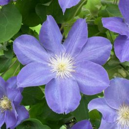 Clematis 'Beauty Of Worcester' | 2.5L Pot