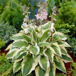 Hosta 'Mama Mia' | 4L Pot
