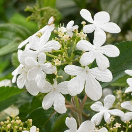 4ft Viburnum pli 'Tennessee' | 7L Pot | By Frank P Matthews
