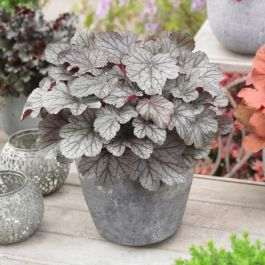 30cm Heuchera 'Huckleberry' | 3L Pot