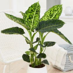60cm Dieffenbachia 'Reflector' | Dumb Cane | 2L Pot | By Plant Theory