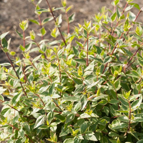 2ft 'Lucky Lots' | 4.5L Pot | Abelia x Grandiflora