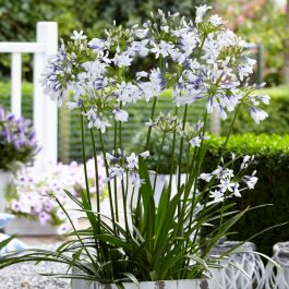 Agapanthus 'Twister' | 3L Pot