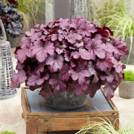 30cm Heuchera 'Wild Rose' | 3L Pot