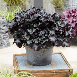 30cm Heuchera 'Black Pearl' | 3L Pot