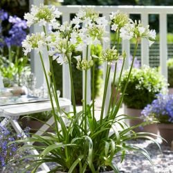 Agapanthus 'Ever White' | 3L Pot