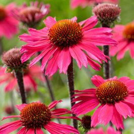 Echinacea 'Sunseekers Pink' | 3L Pot
