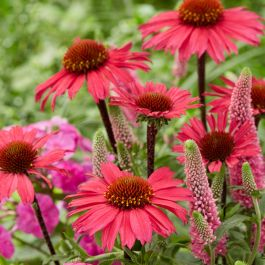 Echinacea 'Sunseekers Coral' | 3L Pot