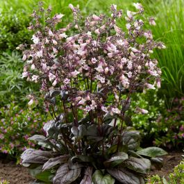 Penstemon 'Dark Towers' | 3L Pot