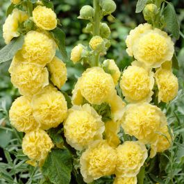 Alcea 'Chaters Yellow' | 3L Pot