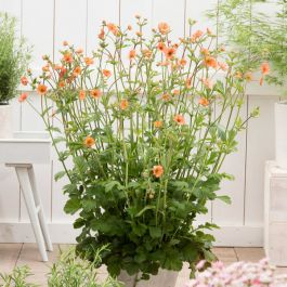 30cm Geum 'Totally Tangerine' | 3L Pot