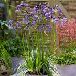 Agapanthus 'Poppin Purple' | 3L Pot