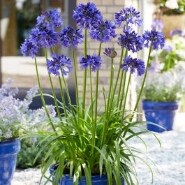 Agapanthus 'Blue Thunder' | 3L Pot