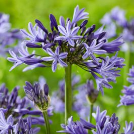 Agapanthus 'Navy Blue' | 3L Pot