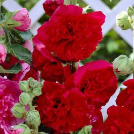 25cm Alcea 'Chaters Scarlet' | 3L Pot