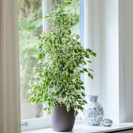 50cm Variegated Ficus benjamina | Weeping Fig | 13cm Pot | By Plant Theory